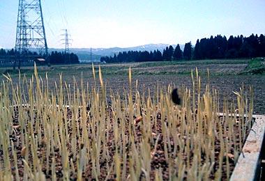 魚沼産コシヒカリの苗