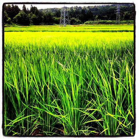 もうすぐ稲刈
