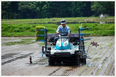 2012年魚沼産コシヒカリ田植え01